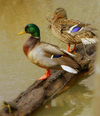 Photograph - Mallard Couple by Kathy Barney