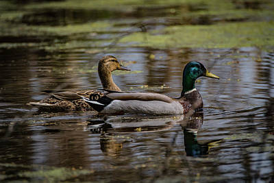 Photograph - Mallard Couple by Ray Congrove