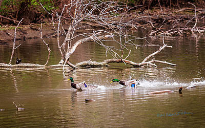 Photograph - Mallard Drake Chase by Edward Peterson