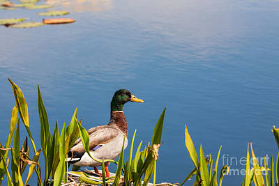 Photograph - Mallard Drake by Diane Macdonald