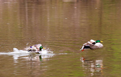 Photograph - Mallard Drake Fight by Edward Peterson
