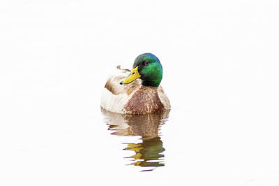 Photograph - Mallard Drake II by Richard Macquade
