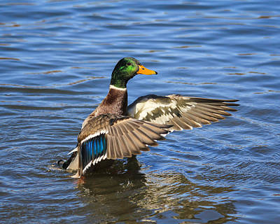 Photograph - Mallard Drake In The Water by Kimberly Kotzian