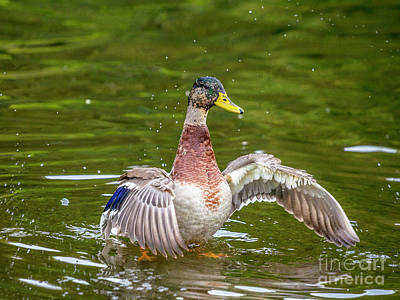 Photograph - Mallard Drake by Jim Orr