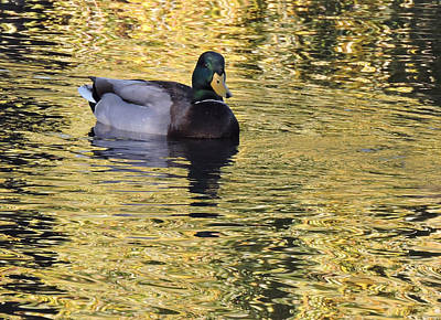 Photograph - Mallard Drake On Gold by Grace Dillon