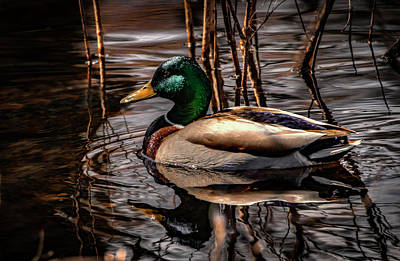 Photograph - Mallard Drake by Ray Congrove