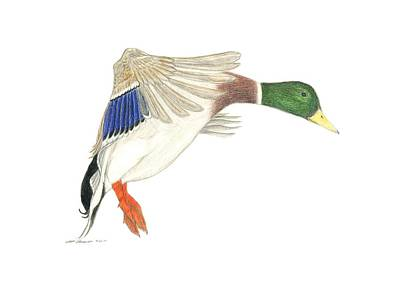 Drawing - Mallard Drake by Sara Stevenson