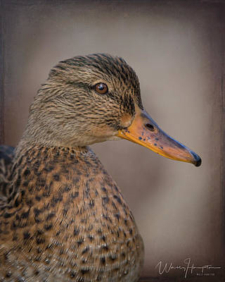 Photograph - Mallard Duck - 4157,st by Wally Hampton