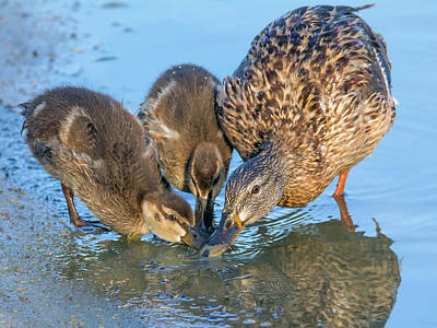 Photograph - Mallard Duck Adult And Chicks 8510-050218-1cr by Tam Ryan
