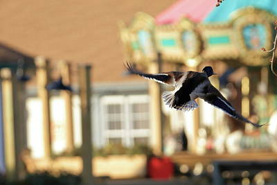 Cedar Waxing Photograph - Mallard Duck And Carousel by Geraldine Scull