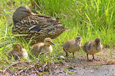 Photograph - Mallard Duck And Chicks by Alan Lenk