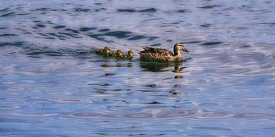 Photograph - Mallard Duck And Ducklings by Steven Ralser