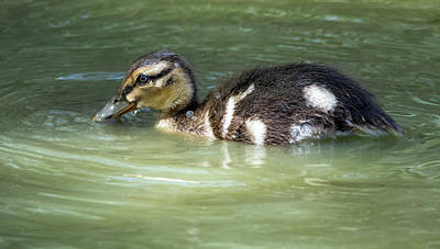 Photograph - Mallard Duck Chick 5218-040618-1cr by Tam Ryan