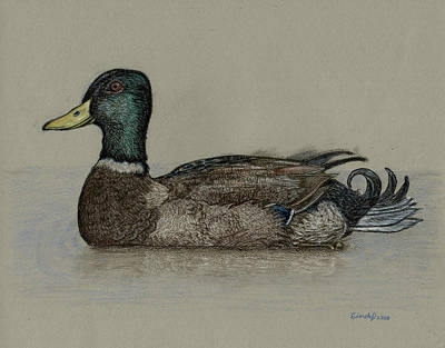 Drawing - Mallard Duck by Cynthia  Lanka