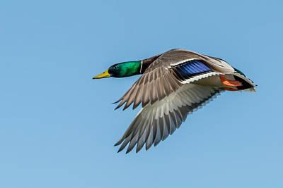 Photograph - Mallard Duck Drake by Tam Ryan