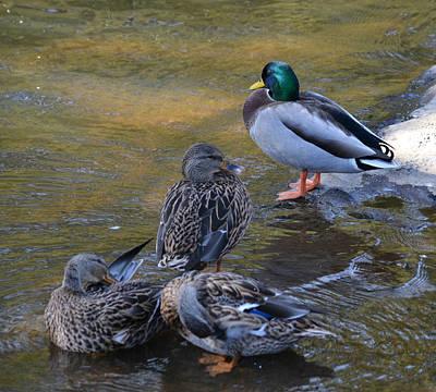 Photograph - Mallard Duck Family On The Rocks by rd Erickson