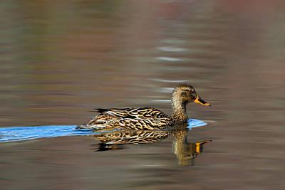 Photograph - Mallard Duck Hen by Bill Wakeley