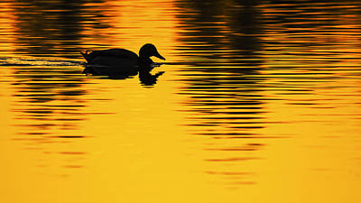 Photograph - Mallard Duck In A Pond At Sunset by Vishwanath Bhat