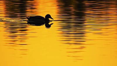 Photograph - Mallard Duck In A Pond At Sunset by Vishwanath Bhat