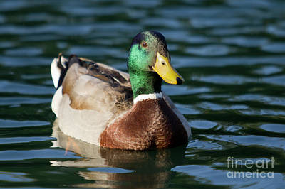Mallard Duck In Pond Original by Dustin K Ryan