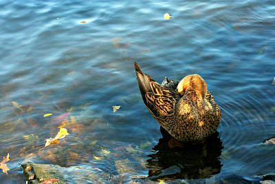 Photograph - Mallard Duck In The Fox River by Jeanette Fellows