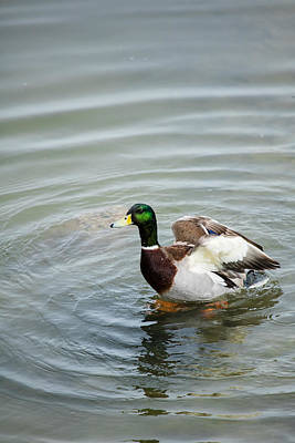 Photograph - Mallard Duck by Jaquita Watters