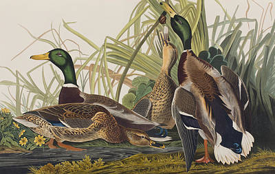 Duck Drawing - Mallard Duck by John James Audubon