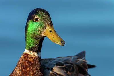 Photograph - Mallard Duck  by Jonathan Nguyen