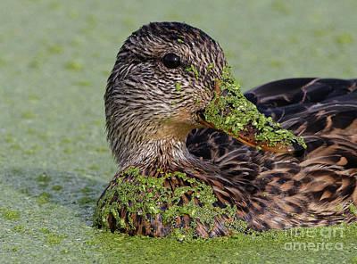 Photograph - Mallard Duck Mask by Sue Harper