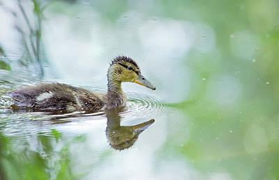 Living Room Photograph - Mallard Duck On A Lake by Oksana Ariskina