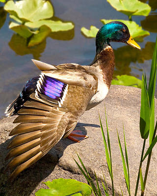 Photograph - Mallard Duck On Rock by Jerry Cowart