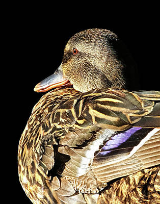 Photograph - Mallard Duck Portrait by Abram House