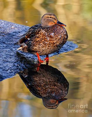 Photograph - Mallard Duck Reflection by Terry Elniski