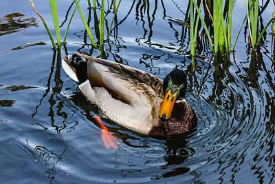 Photograph - Mallard Duck by Robert Hebert