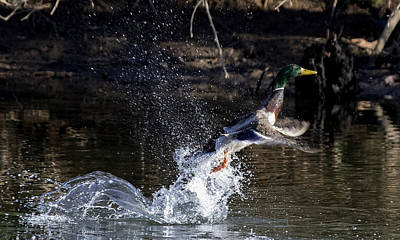 Photograph - Mallard Duck Takeoff by David Lester