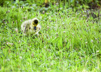 Belmont Lake State Park Wall Art - Photograph - Mallard Duckling by Joan D Squared Photography