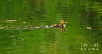 Mallard Duck Photograph - Mallard Duckling Swimming by Merrimon Crawford