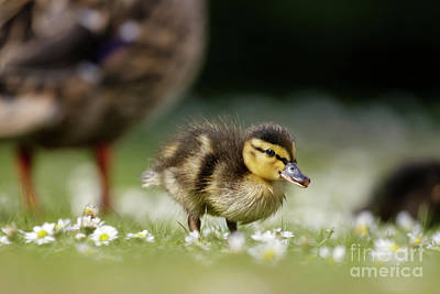 Photograph - Mallard Ducklings - Anas Platyrhynchos - Grazing Feeding Among Dai by Paul Farnfield