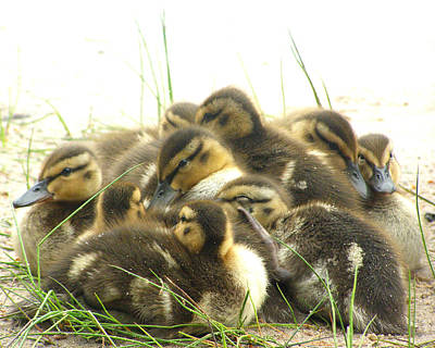 Art Print featuring the photograph Mallard Ducklings by Angie Rea