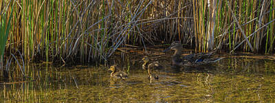 Photograph - Mallard Ducklings In Spring by Yeates Photography