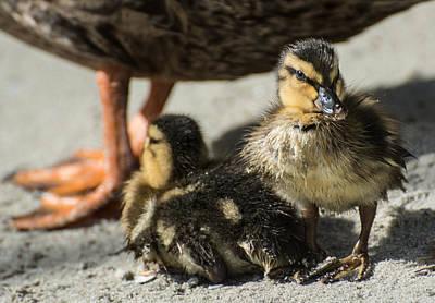 Mallard Ducklings Photograph - Mallard Ducklings by Molly Grabill