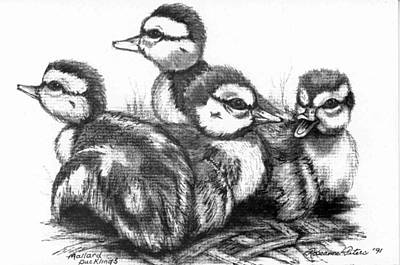 Baby Mallards Drawing - Mallard Ducklings by Roseanne Marie Peters