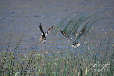 Photograph - Mallard Ducks - Nelson Resevior White Mountains by Donna Greene