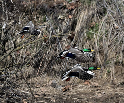 Photograph - Mallard Ducks 1 by David Lester