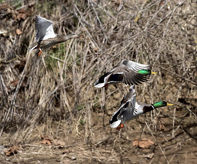 Photograph - Mallard Ducks 2 by David Lester