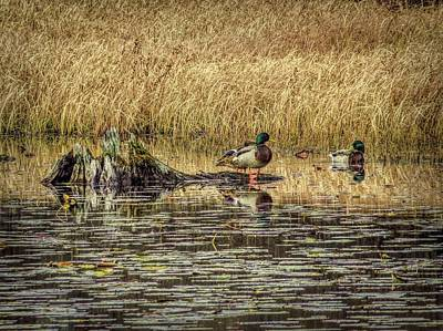 Digital Art - Mallard Ducks In A Marsh by Rusty R Smith