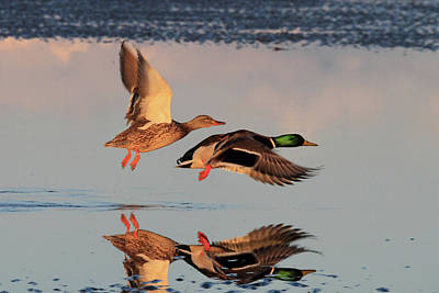 Photograph - Mallard Ducks In Flight by Pierre Leclerc Photography