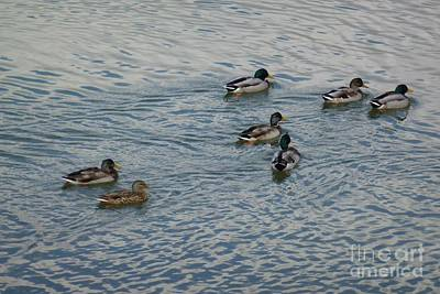 Photograph - Mallard Ducks In Pond 2 by Jean Bernard Roussilhe