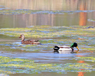 Photograph - Mallard Ducks On The Pond by Kerri Farley