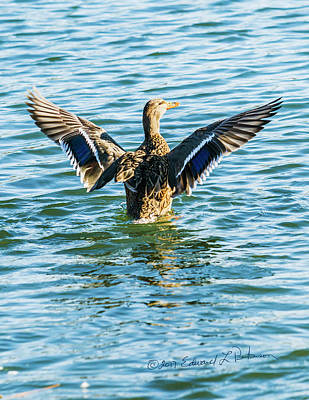 Photograph - Mallard Exercises by Edward Peterson